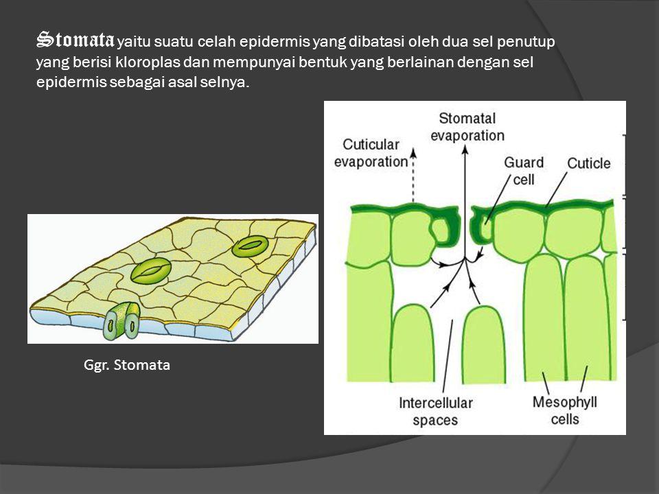 Stomata yaitu suatu celah epidermis yang dibatasi oleh dua sel penutup yang berisi kloroplas dan mempunyai bentuk yang berlainan dengan sel epidermis sebagai asal selnya.