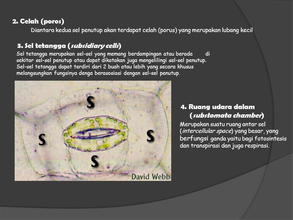 2. Celah (poros) Diantara kedua sel penutup akan terdapat celah (porus) yang merupakan lubang kecil 3. Sel tetangga (subsidiary cells) Sel tetangga me