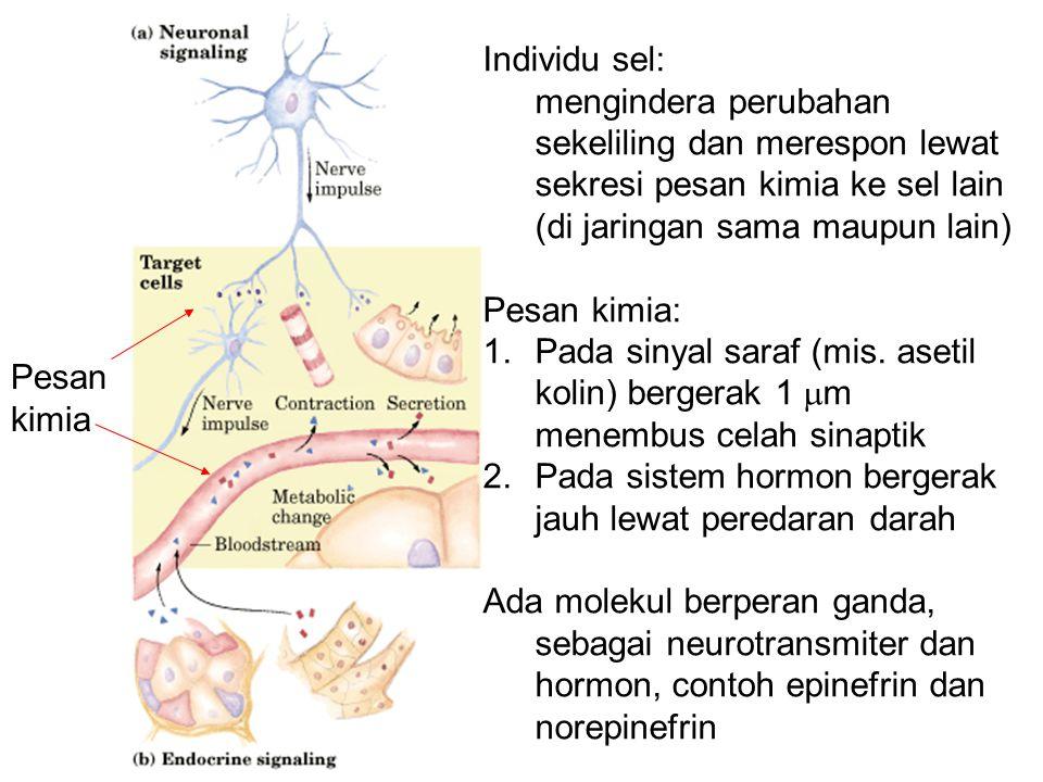 Hormon steroid Dua tipe umum: glukokortikoid (metabolisme karbohidrat) dan mineralokortikoid (mengatur konsentrasi elektrolit darah) Hormon sex: testosteron (testis) dan estrogen (rahim) (untuk perkembangan dan perilaku seksual) Target: reseptor inti untuk mengubah ekspresi gen