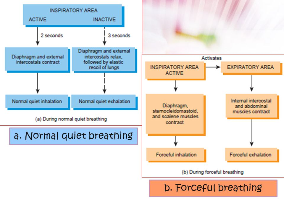 Respiratory center 1.Medullary Rithmicity Mengatur irama dasar inspirasi – ekspirasi Lokasi : MO 2.Pneumotaxic area Koordinasi masa transisi antara in