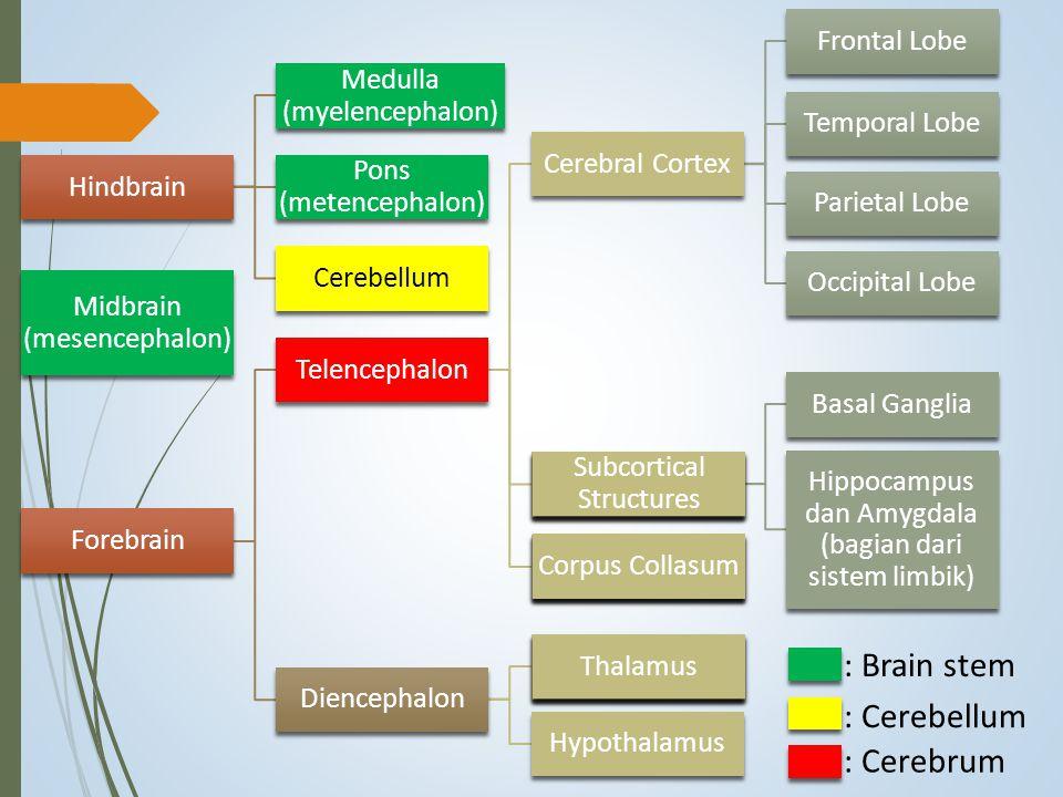 Hindbrain Medulla (myelencephalon) Pons (metencephalon) Cerebellum Midbrain (mesencephalon) Forebrain Telencephalon Cerebral Cortex Frontal Lobe Tempo