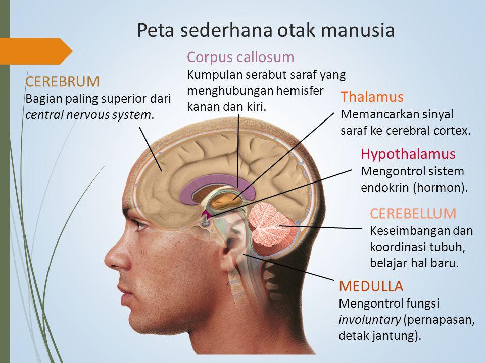 Peta sederhana otak manusia CEREBRUM Bagian paling superior dari central nervous system. Corpus callosum Kumpulan serabut saraf yang menghubungan hemi