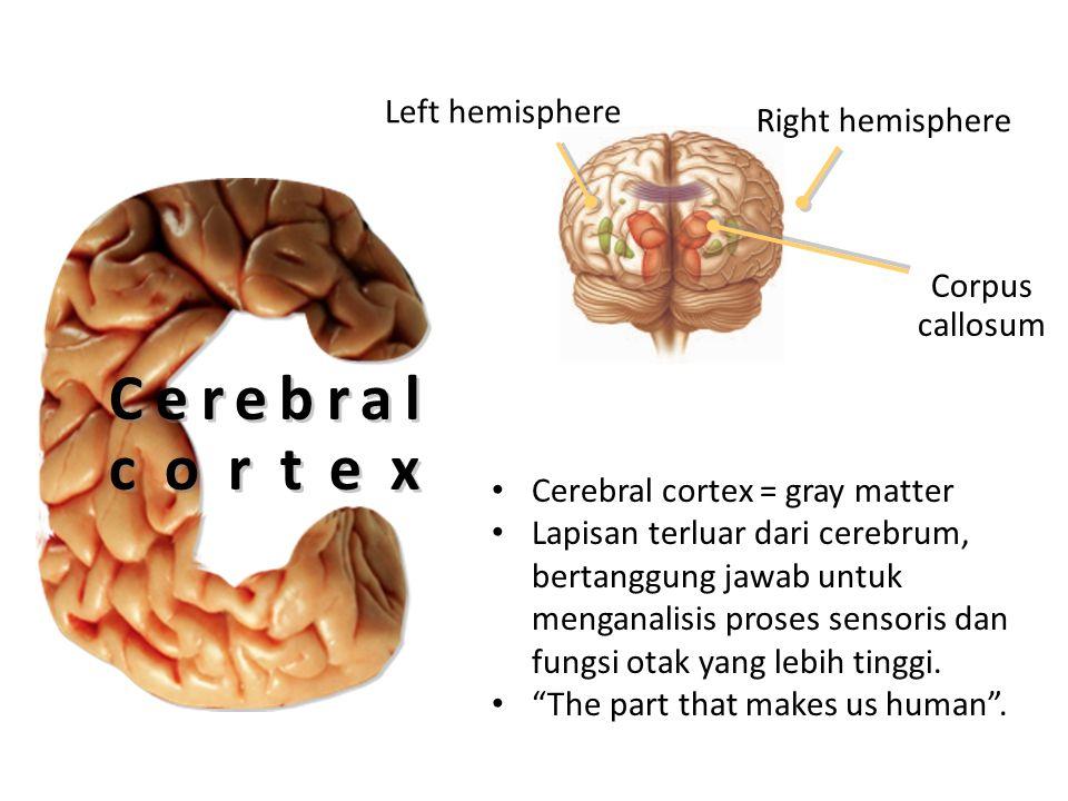 Cerebral cortex Left hemisphere Right hemisphere Corpus callosum Cerebral cortex = gray matter Lapisan terluar dari cerebrum, bertanggung jawab untuk