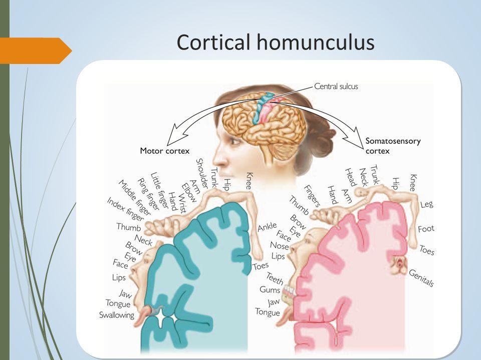 Plastisitas setelah kerusakan otak  Penyebab kerusakan otak: tumor, infeksi, ekspos terhadap zat beracun, penyakit degeneratif, trauma kepala tertutup, stroke.