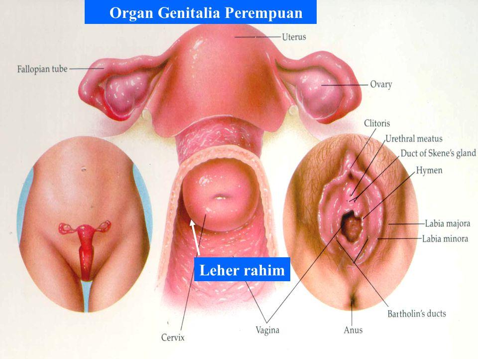 Organ Genitalia Perempuan Leher rahim