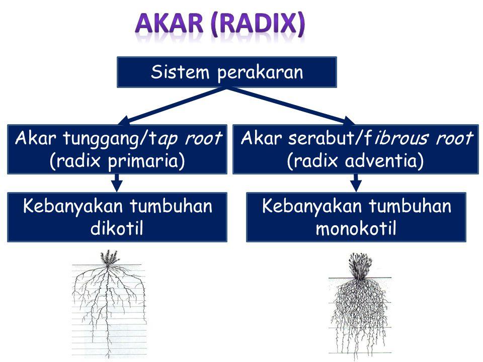Sistem perakaran Akar tunggang/tap root (radix primaria) Akar serabut/fibrous root (radix adventia) Kebanyakan tumbuhan dikotil Kebanyakan tumbuhan mo