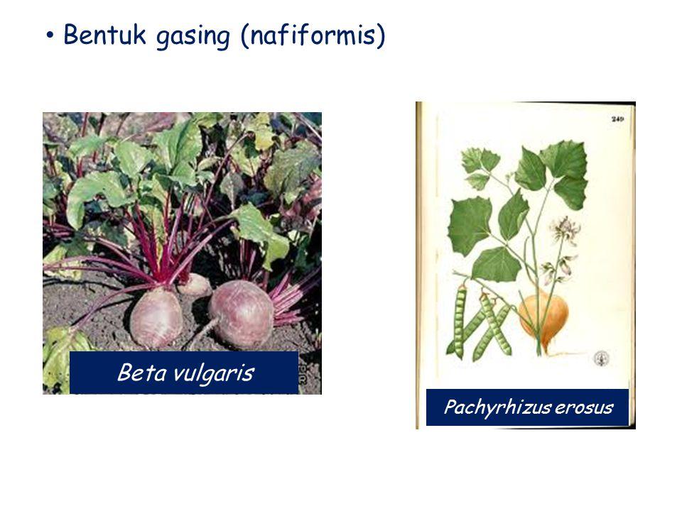 Bentuk gasing (nafiformis) Beta vulgaris Pachyrhizus erosus