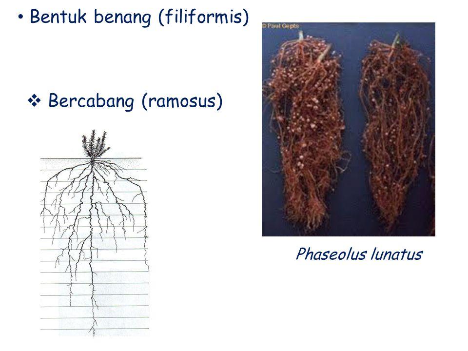 Bentuk benang (filiformis)  Bercabang (ramosus) Phaseolus lunatus