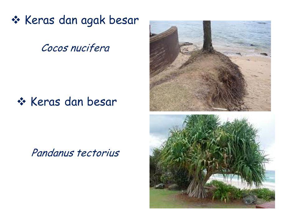  Keras dan agak besar  Keras dan besar Pandanus tectorius Cocos nucifera