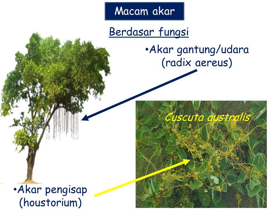 Macam akar Akar gantung/udara (radix aereus) Akar pengisap (houstorium) Berdasar fungsi Cuscuta australis