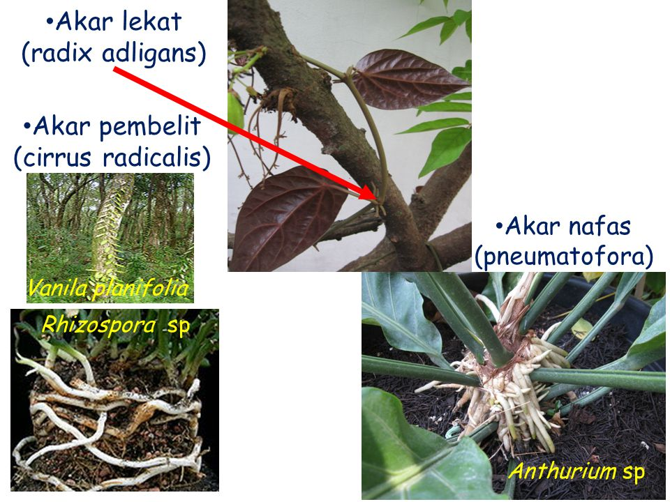 Akar lekat (radix adligans) Akar pembelit (cirrus radicalis) Akar nafas (pneumatofora) Vanila planifolia Rhizospora sp Anthurium sp