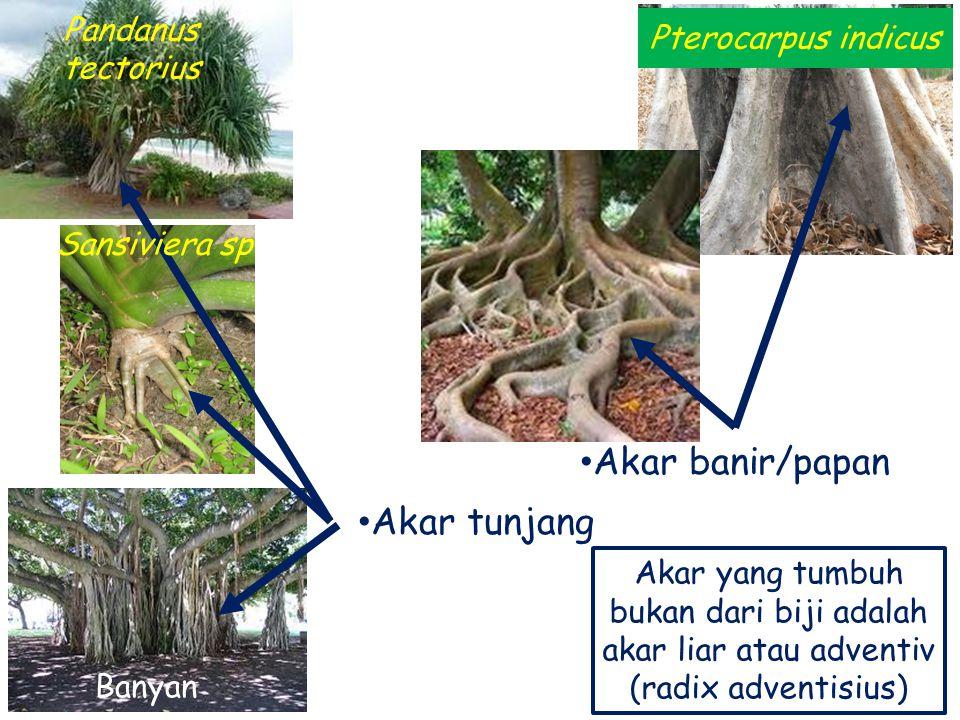 Akar tunjang Akar banir/papan Pterocarpus indicus Pandanus tectorius Sansiviera sp Akar yang tumbuh bukan dari biji adalah akar liar atau adventiv (ra