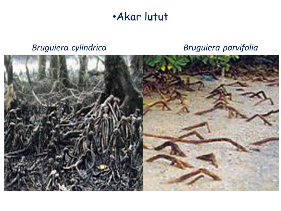 Akar lutut Bruguiera parvifoliaBruguiera cylindrica