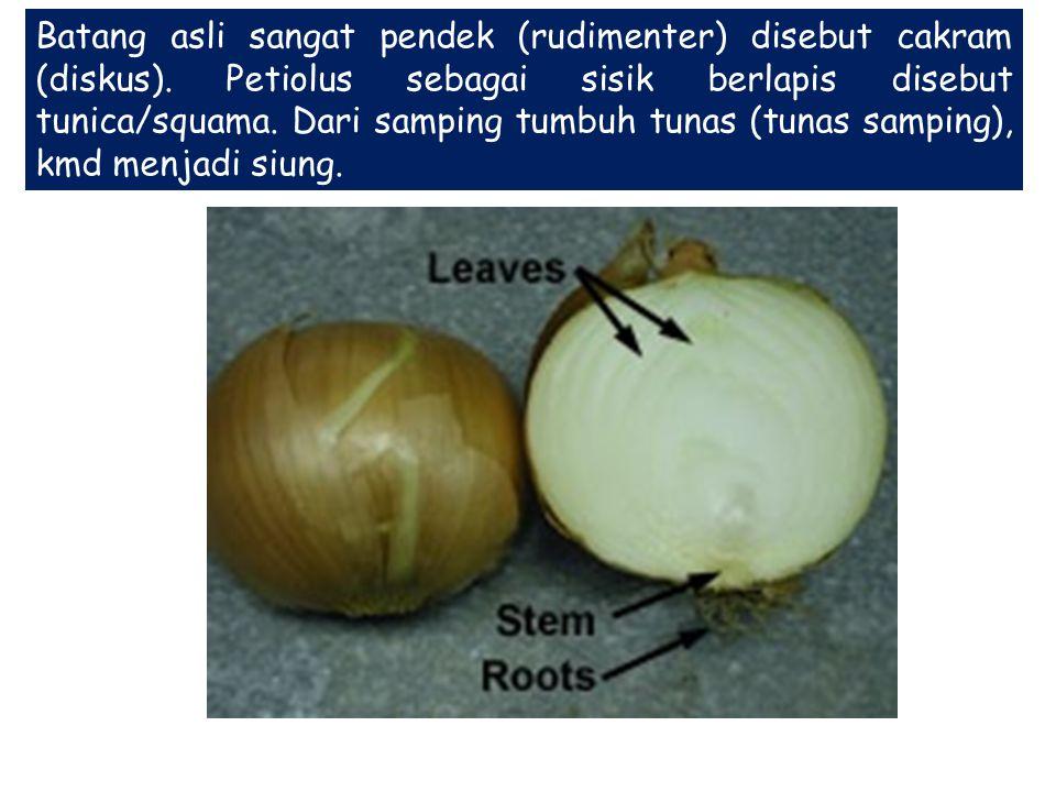 Batang asli sangat pendek (rudimenter) disebut cakram (diskus). Petiolus sebagai sisik berlapis disebut tunica/squama. Dari samping tumbuh tunas (tuna
