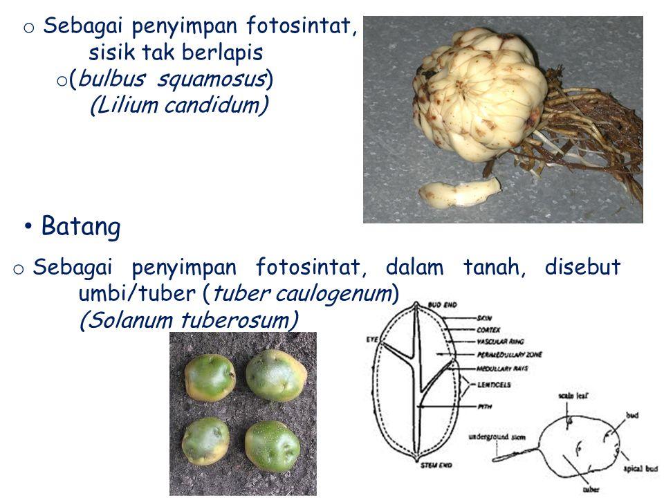 o Sebagai penyimpan fotosintat, sisik tak berlapis o (bulbus squamosus) ( (Lilium candidum) Batang o Sebagai penyimpan fotosintat, dalam tanah, disebu