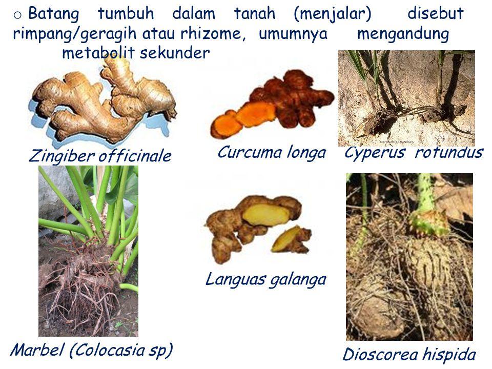 Zingiber officinale Curcuma longa Languas galanga Cyperus rotundus Marbel (Colocasia sp) o Batang tumbuh dalam tanah (menjalar) disebut rimpang/geragi