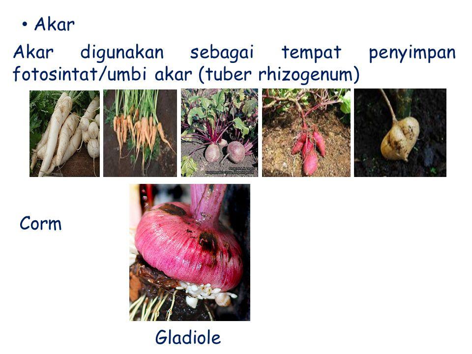 Akar digunakan sebagai tempat penyimpan fotosintat/umbi akar (tuber rhizogenum) Akar Corm Gladiole