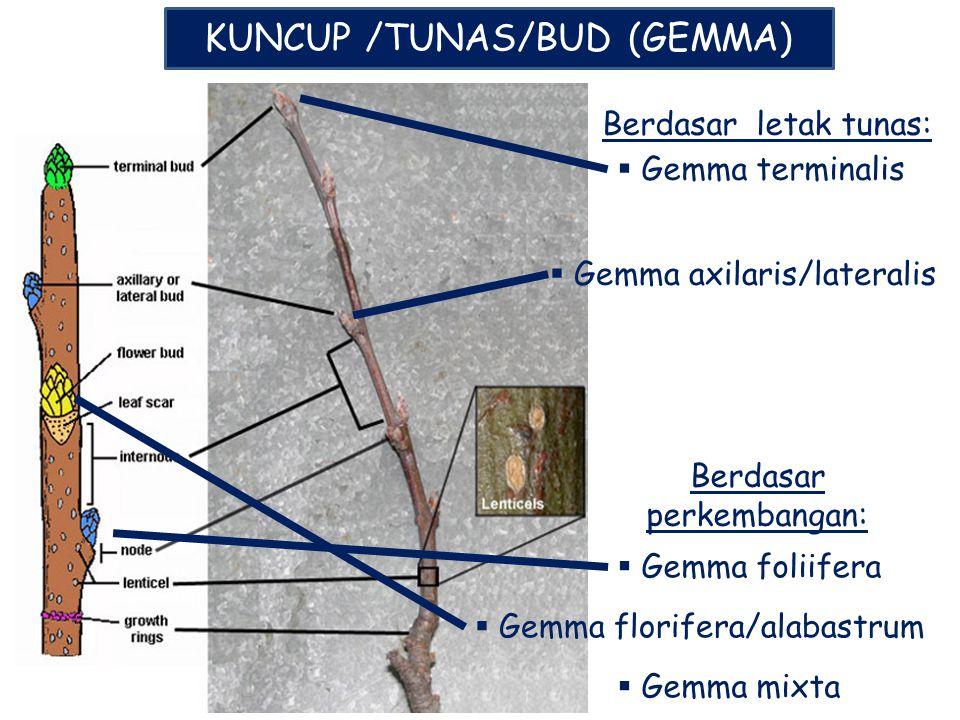 KUNCUP /TUNAS/BUD (GEMMA) Berdasar letak tunas:  Gemma terminalis  Gemma axilaris/lateralis Berdasar perkembangan:  Gemma foliifera  Gemma florife