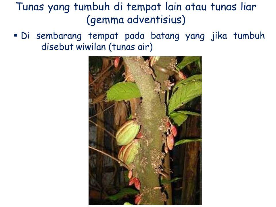 Tunas yang tumbuh di tempat lain atau tunas liar (gemma adventisius)  Di sembarang tempat pada batang yang jika tumbuh disebut wiwilan (tunas air)