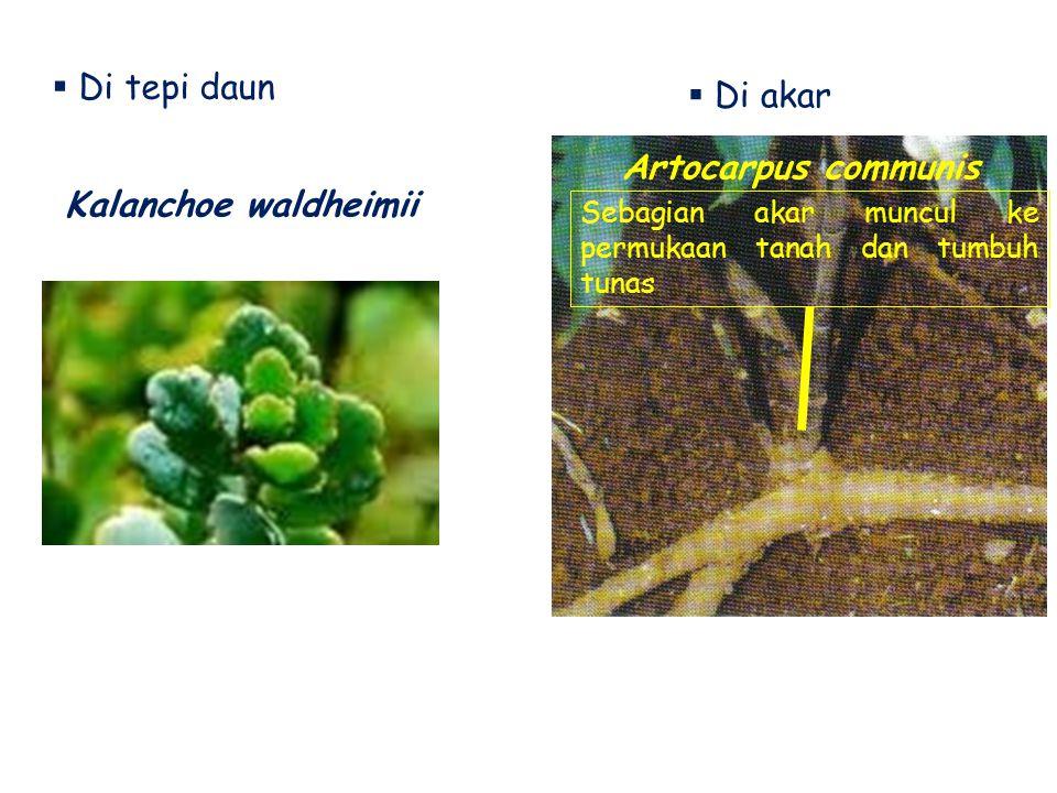  Di tepi daun Kalanchoe waldheimii  Di akar Artocarpus communis Sebagian akar muncul ke permukaan tanah dan tumbuh tunas