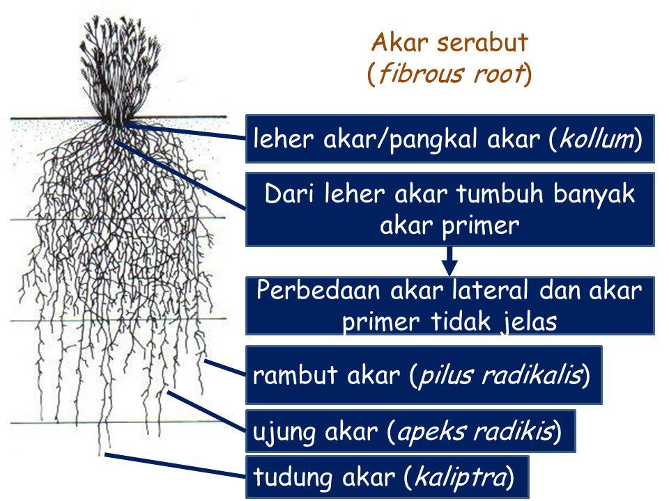 leher akar/pangkal akar (kollum) Akar serabut (fibrous root) Dari leher akar tumbuh banyak akar primer Perbedaan akar lateral dan akar primer tidak je