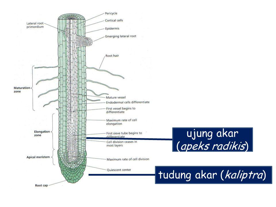 tudung akar (kaliptra) ujung akar (apeks radikis)