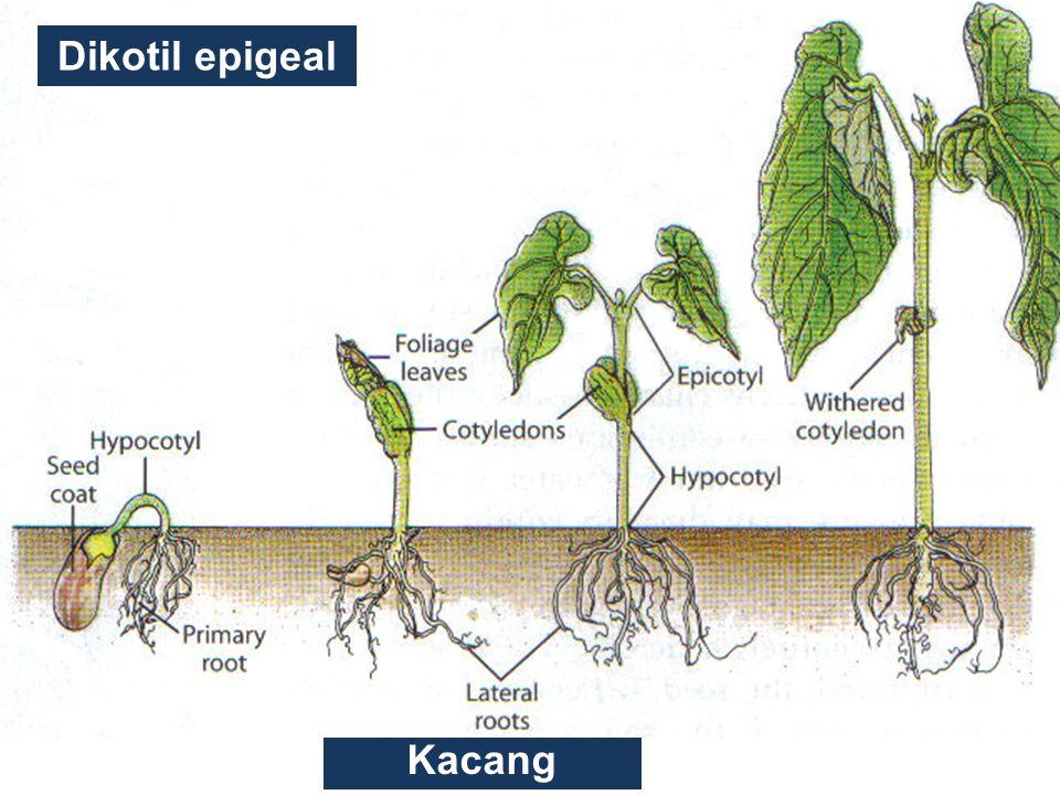 Kacang Dikotil epigeal