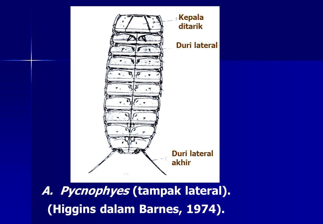 A. Pycnophyes (tampak lateral). (Higgins dalam Barnes, 1974). Kepala ditarik Duri lateral Duri lateral akhir