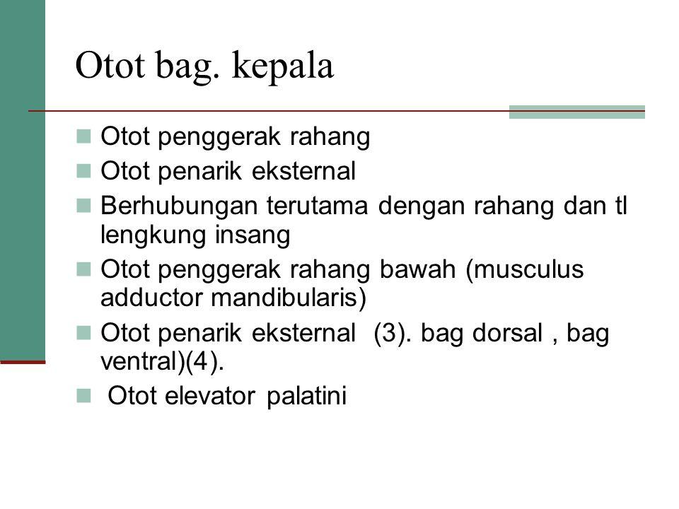 Otot bag. kepala Otot penggerak rahang Otot penarik eksternal Berhubungan terutama dengan rahang dan tl lengkung insang Otot penggerak rahang bawah (m