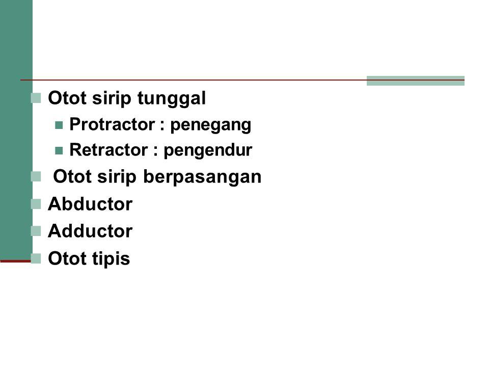 Otot sirip tunggal Protractor : penegang Retractor : pengendur Otot sirip berpasangan Abductor Adductor Otot tipis