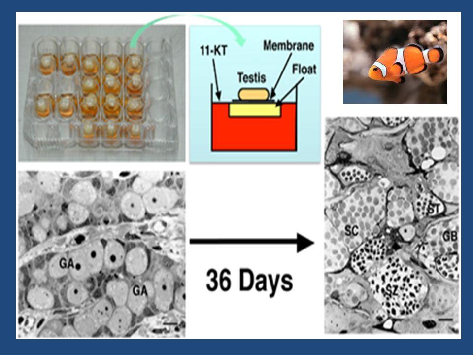 MANFAAT KULTUR ORGAN (1) Pemeliharaan struktur dalam jaringan (untuk eksperimental dgn parameter variasi hormon, obat-obatan, atau radiasi) (2) Studi morfogenesis, diferensiasi, dan fungsi dalam organ (3) untuk perbandingan pertumbuhan dan perilaku organ yang ditanam ke bagian tubuh lainnya (4) Pengobatan