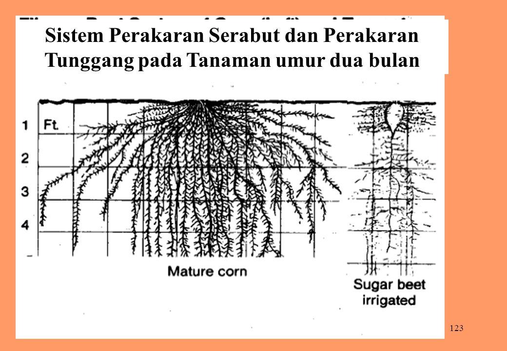 123 Sistem Perakaran Serabut dan Perakaran Tunggang pada Tanaman umur dua bulan