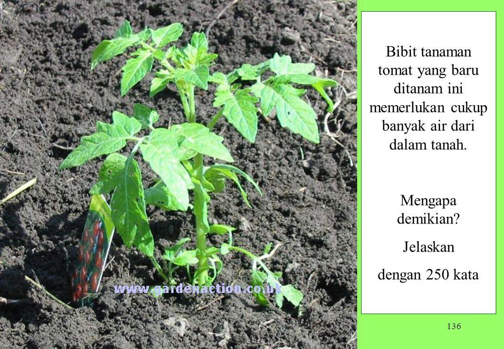 136 Bibit tanaman tomat yang baru ditanam ini memerlukan cukup banyak air dari dalam tanah. Mengapa demikian? Jelaskan dengan 250 kata
