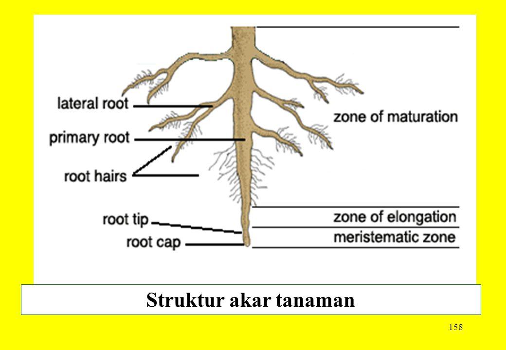 158 Struktur akar tanaman