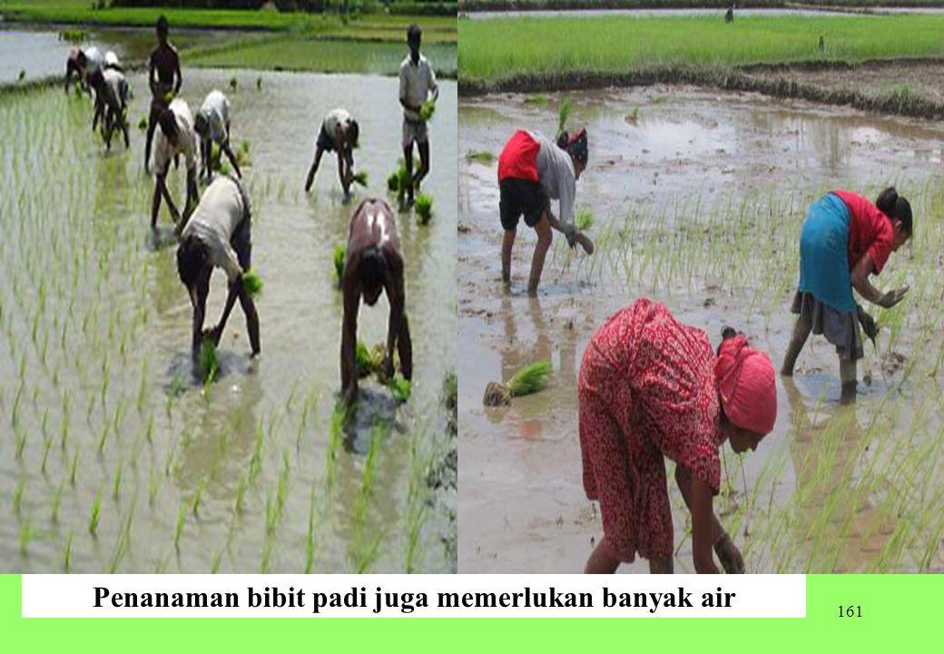 161 Penanaman bibit padi juga memerlukan banyak air