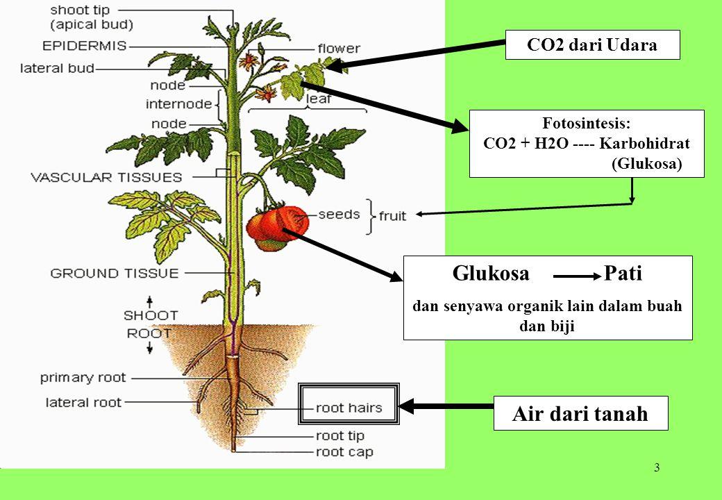 3 Air dari tanah CO2 dari Udara Fotosintesis: CO2 + H2O ---- Karbohidrat (Glukosa) Glukosa Pati dan senyawa organik lain dalam buah dan biji