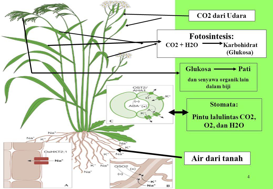 4 Stomata: Pintu lalulintas CO2, O2, dan H2O Fotosintesis: CO2 + H2O Karbohidrat (Glukosa) CO2 dari Udara Glukosa Pati dan senyawa organik lain dalam