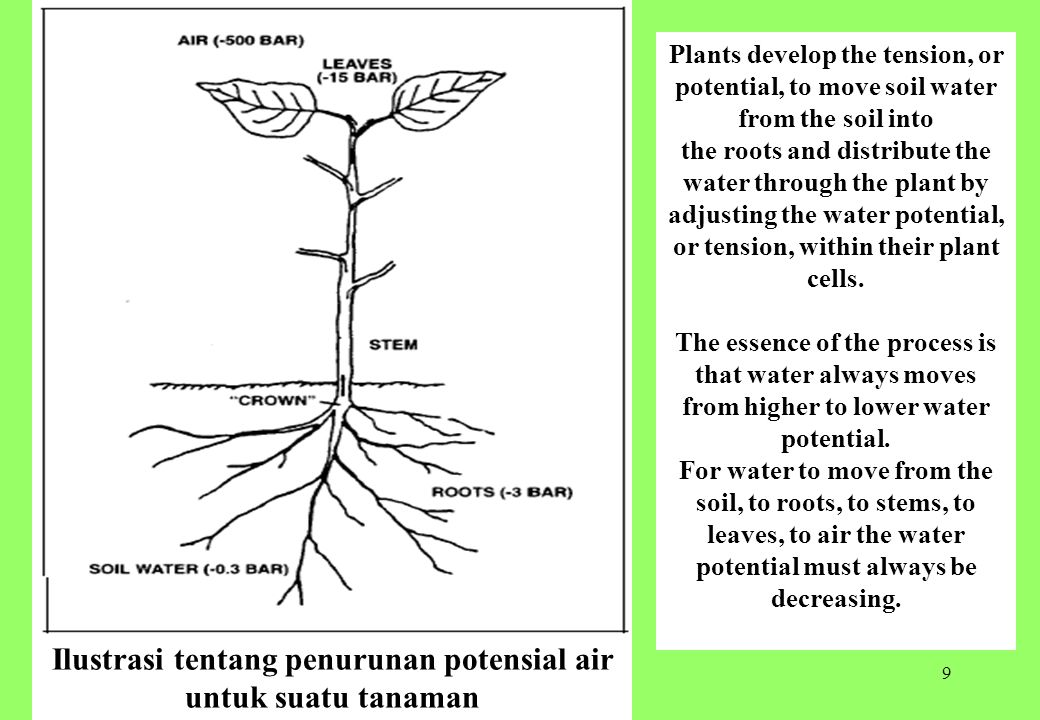 9 Ilustrasi tentang penurunan potensial air untuk suatu tanaman Plants develop the tension, or potential, to move soil water from the soil into the roots and distribute the water through the plant by adjusting the water potential, or tension, within their plant cells.