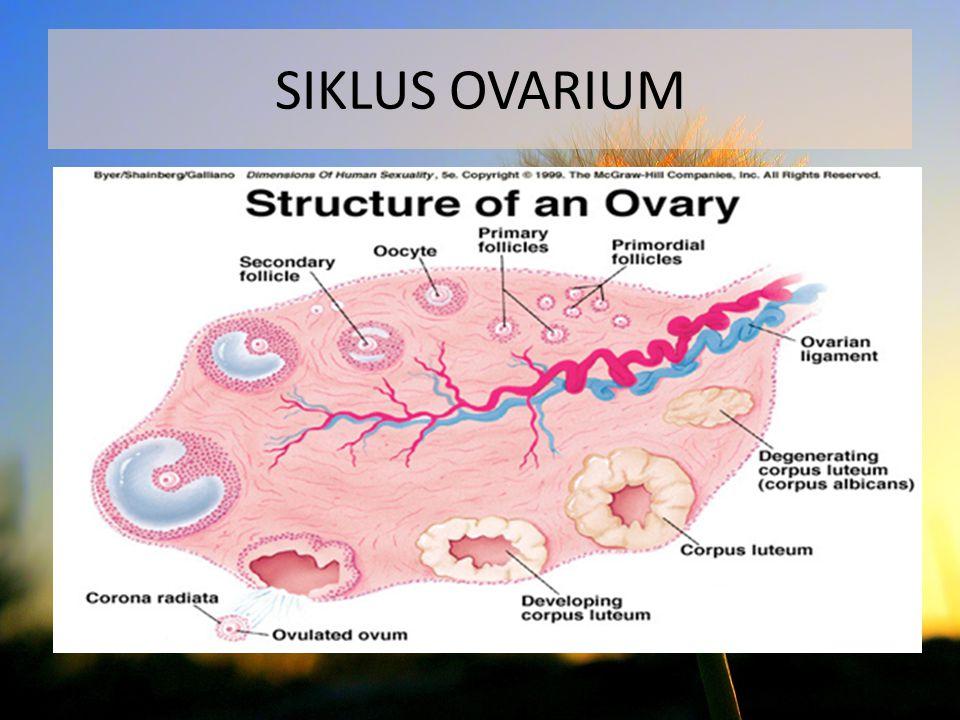 Terdiri dari 2 fase : 1.Fase folikuler (FSH-LH) -Terjadi pertumbuhan folikel -Folikel primer - ovulasi 2.Fase luteal (progesteron) - Terbentuk korpus luteum