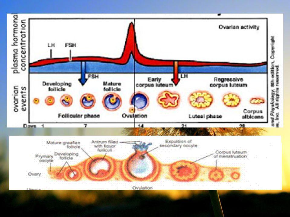 Etiologi : -Kegagalan pembuahan -Tidak terbentuknya hormon PGF2alfa Gejala klinis : -BB meningkat -Distensi abdomen -Mothering behaviour -Kel mamae berkembang + tbtk air susu PSEUDOPREGNANCY