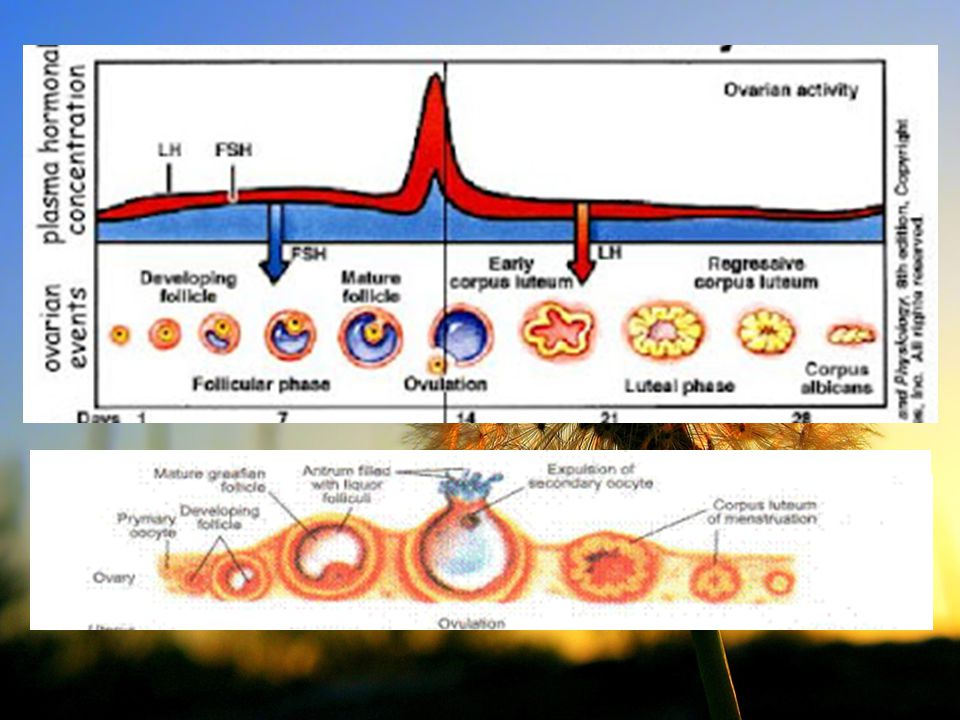 ESTRUS Fase birahi Sapi : vulva bengkak, keluar lendir jernih n kental Terjadi ovulasi (pada sapi 12 jam post estrus) Tuba fallopii aktif kontraksi,uterus besar & cervix oedema Estrogen ↑, terjadi peningkatan mitosis Kucing  Induced ovulatory