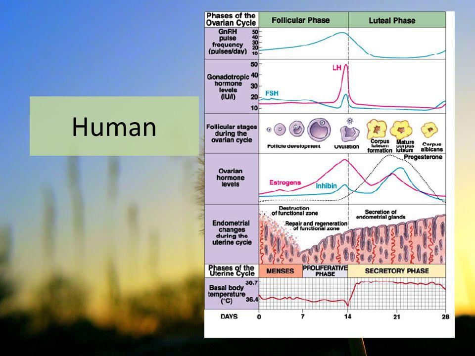SIKLUS UTERUS  Perubahan bentuk mukosa uterus sesuai dengan siklus estrus yang sedang berlangsung  Terdapat perbedaan pada manusia dan hewan  manusia meluruh, hewan regresi