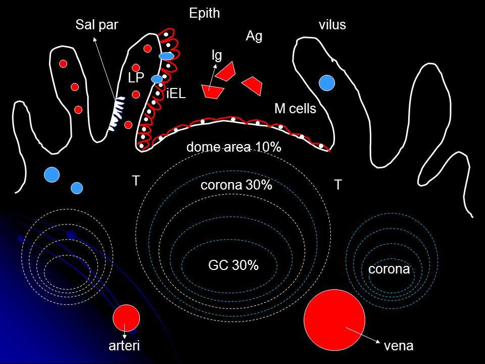 Sal par Epith Ag lg M cells arterivena T T corona LP iEL vilus GC 30% corona 30% dome area 10%