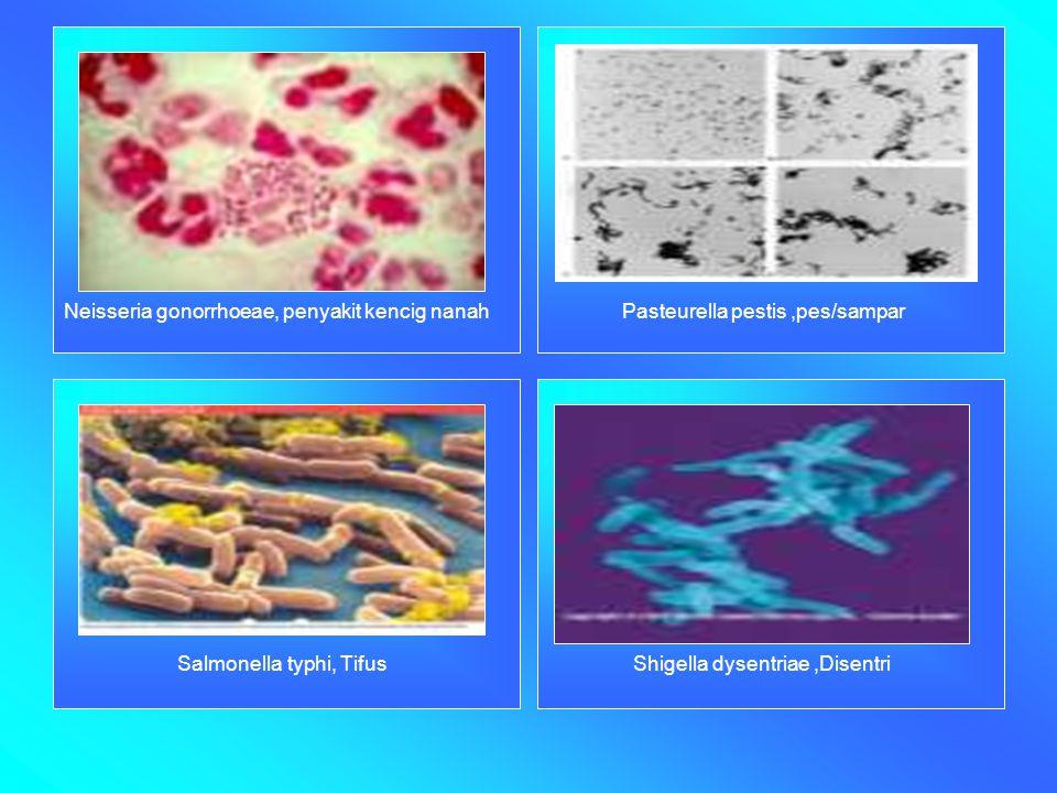 Neisseria gonorrhoeae, penyakit kencig nanah Pasteurella pestis,pes/sampar Salmonella typhi, Tifus Shigella dysentriae,Disentri