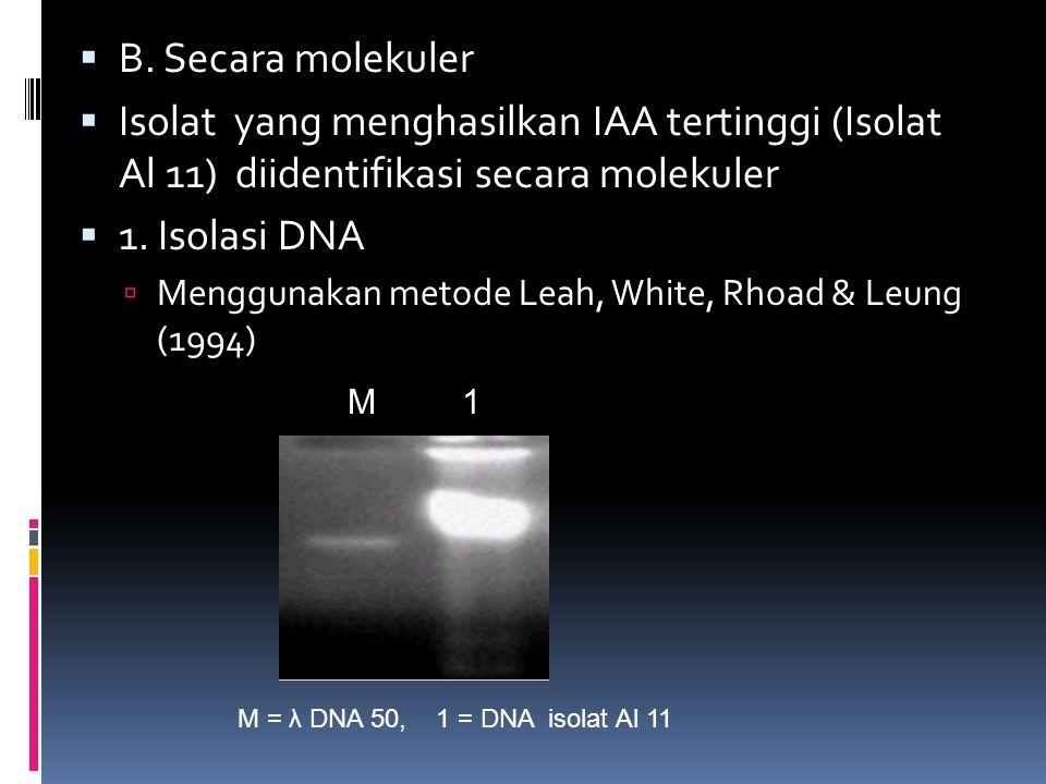  B. Secara molekuler  Isolat yang menghasilkan IAA tertinggi (Isolat Al 11) diidentifikasi secara molekuler  1. Isolasi DNA  Menggunakan metode Le