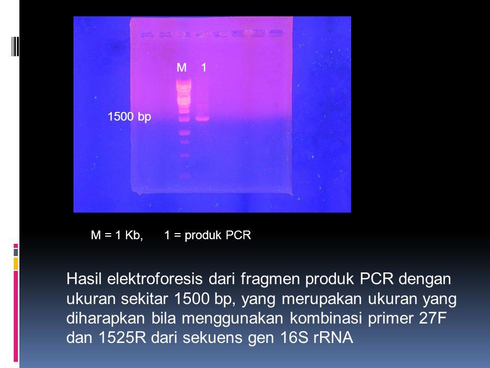 Hasil elektroforesis dari fragmen produk PCR dengan ukuran sekitar 1500 bp, yang merupakan ukuran yang diharapkan bila menggunakan kombinasi primer 27