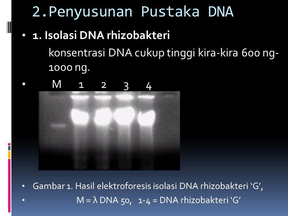 2.Penyusunan Pustaka DNA 1. Isolasi DNA rhizobakteri konsentrasi DNA cukup tinggi kira-kira 600 ng- 1000 ng. M 1 2 3 4 Gambar 1. Hasil elektroforesis