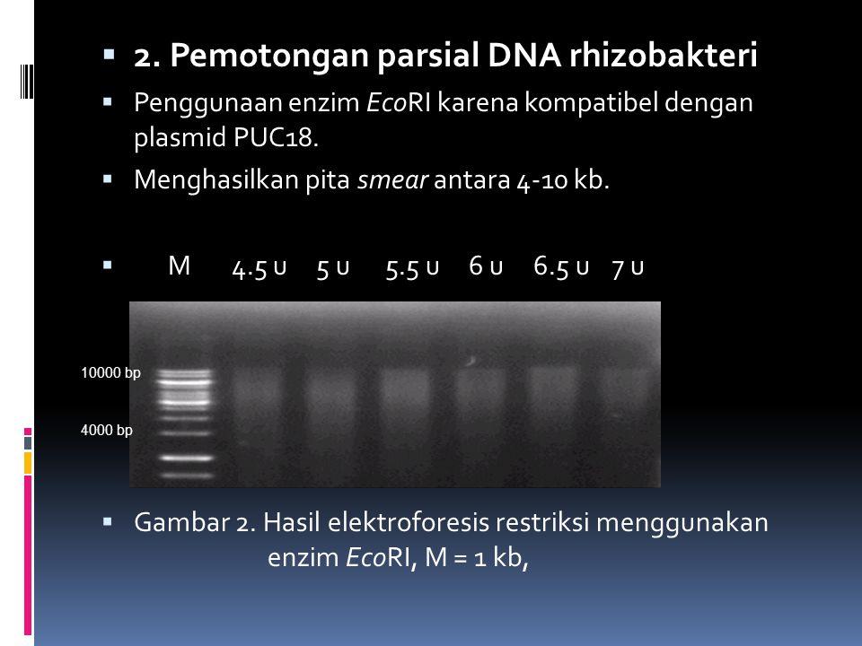 2. Pemotongan parsial DNA rhizobakteri  Penggunaan enzim EcoRI karena kompatibel dengan plasmid PUC18.  Menghasilkan pita smear antara 4-10 kb. 