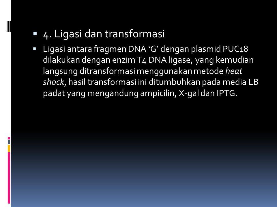  4. Ligasi dan transformasi  Ligasi antara fragmen DNA 'G' dengan plasmid PUC18 dilakukan dengan enzim T4 DNA ligase, yang kemudian langsung ditrans