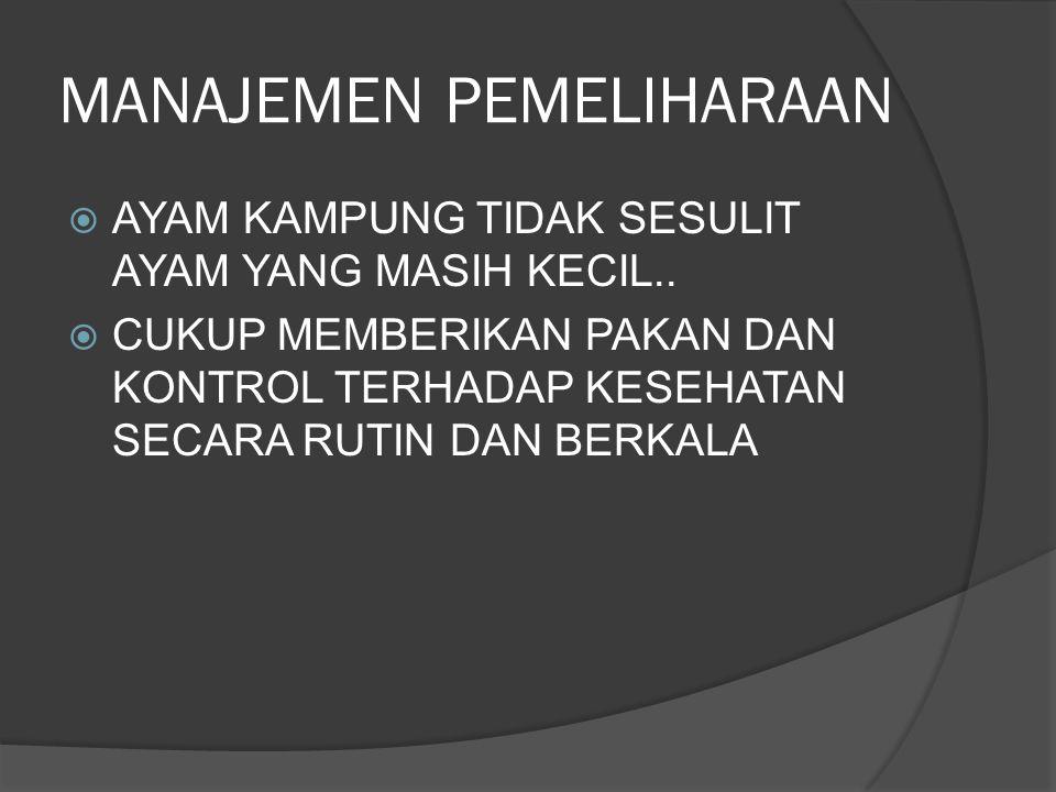 MANAJEMEN PEMELIHARAAN  AYAM KAMPUNG TIDAK SESULIT AYAM YANG MASIH KECIL..